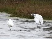 鰲鼓的候鳥與水鳥:074A7991a.jpg