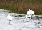 鰲鼓的候鳥與水鳥:074A7996黑琵扭頭往後.jpg