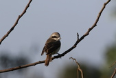 褐頭鷦鶯、粉紅鸚嘴、紅尾伯勞與灰頭鷦鶯:N74A4491.JPG