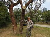 106年個人生活照:IMG_7513大葉桉.尤加利.JPG