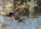 復旦大埤塘的鳥兒:074A7287紅冠水雞.jpg