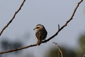 褐頭鷦鶯、粉紅鸚嘴、紅尾伯勞與灰頭鷦鶯:N74A4494.JPG