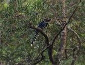 雙溪清晨星空與鳥類:074A4184台灣藍鵲.jpg