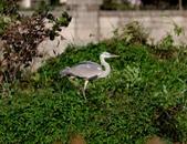 復旦社區冬天的鳥兒:074A7732.JPG