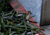 翡翠灣的清晨:074A3732黑冠麻鷺幼鳥.jpg