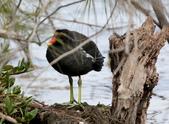 鰲鼓的候鳥與水鳥:N74A3145紅冠水雞.jpg