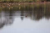 復旦大埤塘的鳥兒:074A7257.JPG