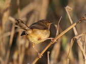 褐頭鷦鶯、粉紅鸚嘴、紅尾伯勞與灰頭鷦鶯:074A8749.JPG