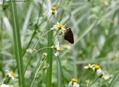秋天雙溪的昆蟲:074A4788弄蝶.jpg