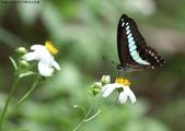 秋天雙溪的昆蟲:074A4791青帶鳳蝶.jpg
