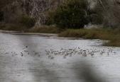 鰲鼓的候鳥與水鳥:074A7981準備群飛.JPG