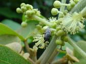 錐口蠅(口鼻蠅)吸野桐雄花的花蜜:DSC07941.JPG