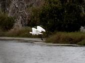 鰲鼓的候鳥與水鳥:074A7984.JPG
