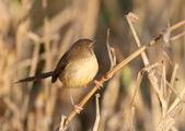 褐頭鷦鶯、粉紅鸚嘴、紅尾伯勞與灰頭鷦鶯:074A8745.JPG
