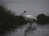 清晨鰲鼓濕地的鳥類:074A5859.JPG