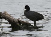 鰲鼓的候鳥與水鳥:074A7871a.jpg