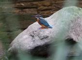 雙溪秋天的鳥類:074A5558.JPG