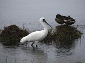 清晨鰲鼓濕地的鳥類:074A5871.JPG