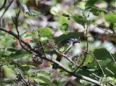 冬至大雪山活潑的鳥兒與松鼠:074A6938白耳畫眉.JPG
