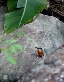 雙溪秋天的鳥類:074A5657雄翠鳥.jpg