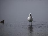 清晨鰲鼓濕地的鳥類:074A5876.JPG