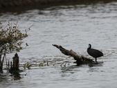 鰲鼓的候鳥與水鳥:074A7870.JPG