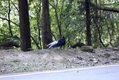 大雪山林道的藍腹鷴:074A6579.JPG