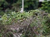 復旦大埤塘周遭的鳥兒:N74A2925夜鷺亞成鳥.JPG