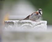 台南關子嶺的山麻雀親鳥育雛:074A3598.JPG