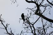 復旦大埤塘周遭的鳥兒:N74A2938喜鵲.JPG