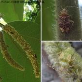 台灣猬盲椿成蟲與終齡若蟲:相簿封面