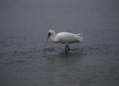 清晨鰲鼓濕地的鳥類:074A5886.JPG