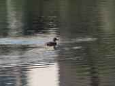 復旦大埤塘的鳥兒:074A7274a.jpg