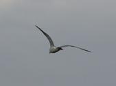 鰲鼓的候鳥與水鳥:074A7892.JPG