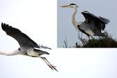 鰲鼓的候鳥與水鳥:074A7923.JPG