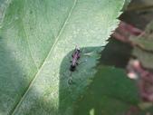 黑巴達姬蜂(雄):DSC02708.JPG