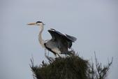 鰲鼓的候鳥與水鳥:074A7924.JPG