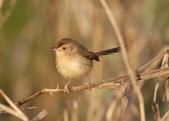 褐頭鷦鶯、粉紅鸚嘴、紅尾伯勞與灰頭鷦鶯:074A8741褐頭鷦鶯.JPG