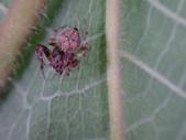 艾瑟毛圓蛛(雄與雌)-構樹:DSC08349.JPG