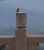台南關子嶺的山麻雀親鳥育雛:074A3482山麻雀公鳥.JPG