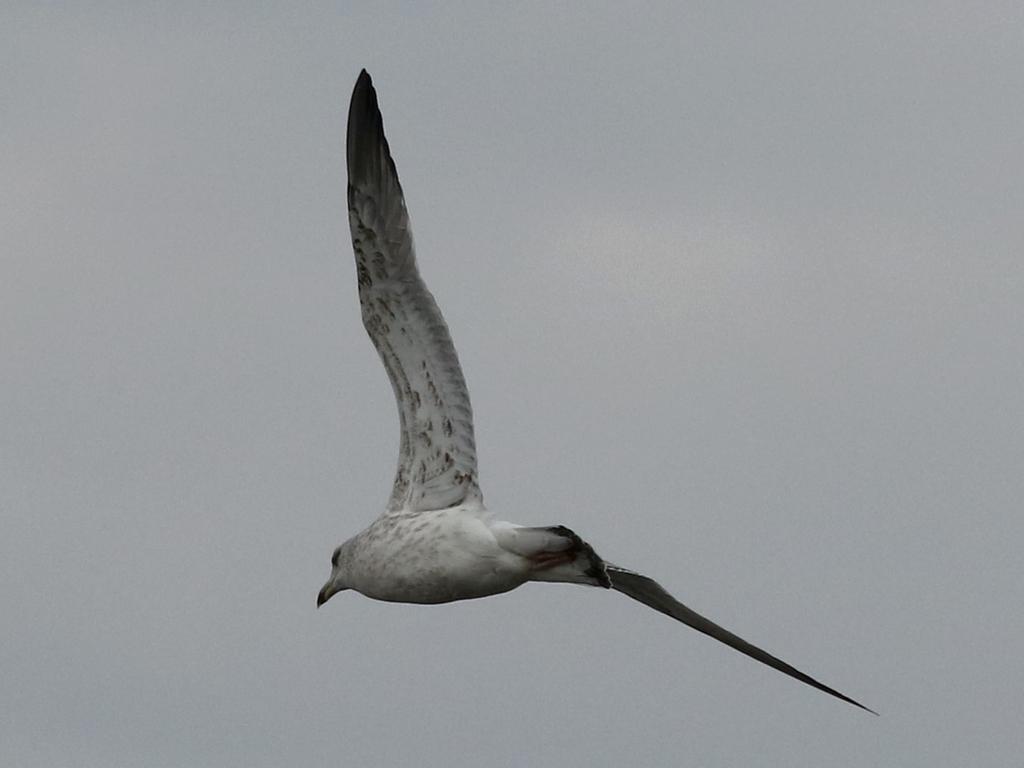 鰲鼓的候鳥與水鳥:074A7894銀鷗(黑脊鷗).jpg