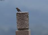 台南關子嶺的山麻雀親鳥育雛:074A3484.JPG