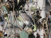 復旦大埤塘的鳥兒:074A7282夜鷺.jpg