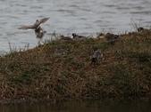 鰲鼓的候鳥與水鳥:074A7929.JPG
