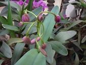 老父留下25年的嘉德麗雅蘭:DSC08659八朵花苞.JPG