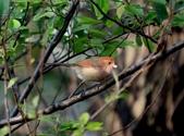 褐頭鷦鶯、粉紅鸚嘴、紅尾伯勞與灰頭鷦鶯:074A8788a.jpg