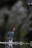 水鳥捕魚千裡挑一精彩鏡頭:N74A6755.JPG