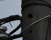 台南關子嶺的山麻雀親鳥育雛:074A3461幼鳥無精打采.jpg