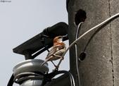 台南關子嶺的山麻雀親鳥育雛:074A3428幼鳥放棄索食.JPG