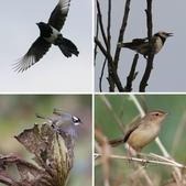 復旦大埤塘周遭的鳥兒:相簿封面